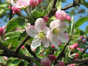 Яблоня Сиверса (Malus Sieversii)