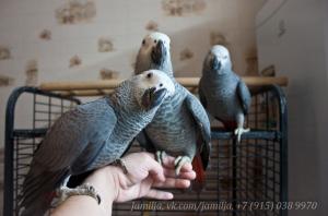 в статью как выбрать попугая_жако1.png