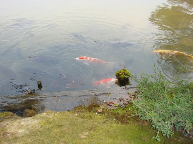 КИОТО. Храм Рокуондзи. Рыба в пруду, где на острове стоит Золотой павильон Кинкакудзи