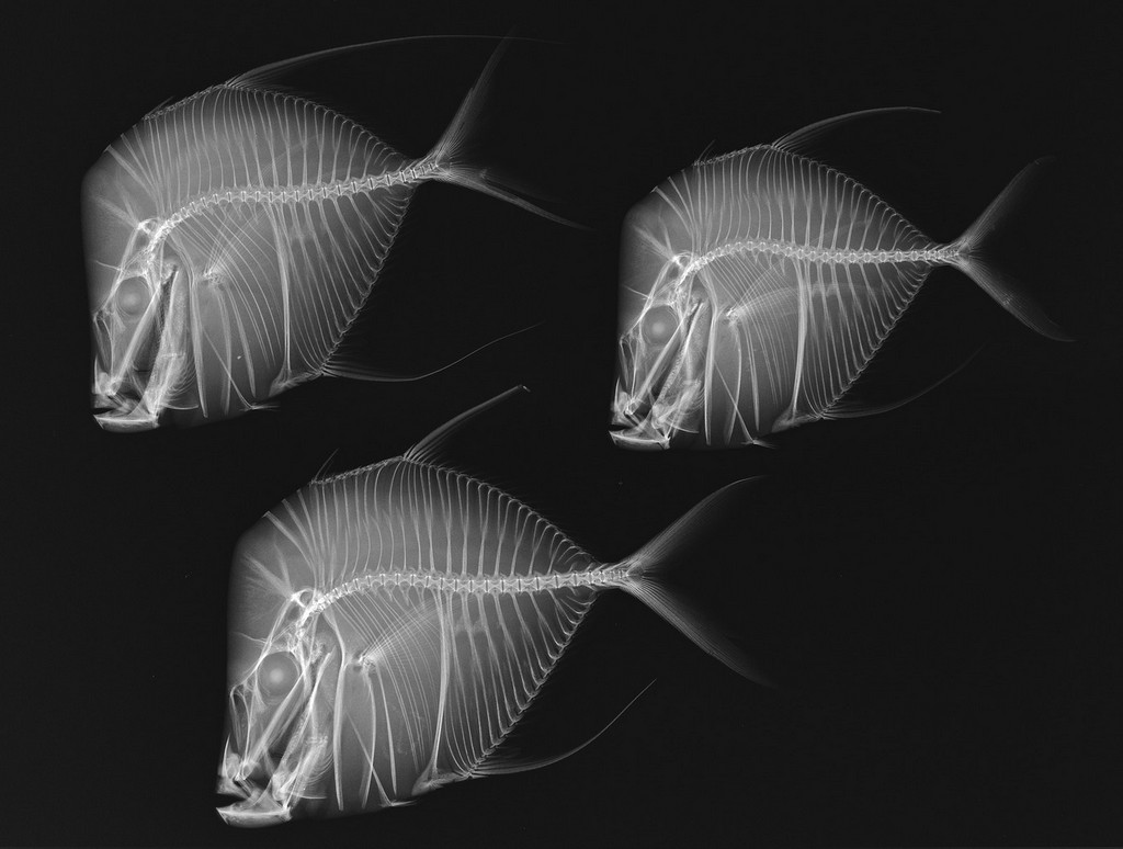 x-ray-vision-selene-vome-fish