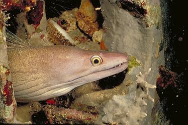 Viper-Moray-Eel-4620