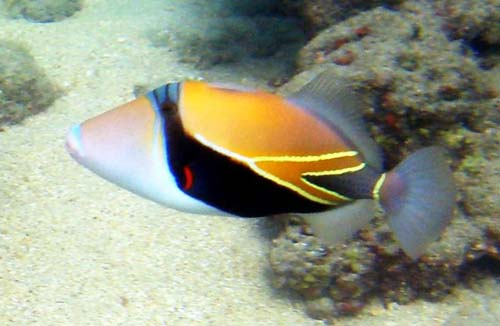 wedge-tailed-triggerfish
