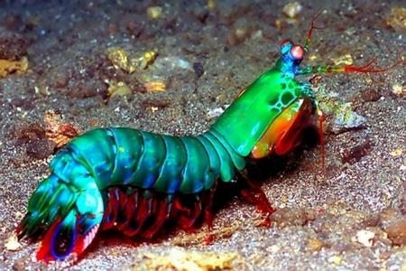 mantis shrimp peacock