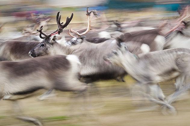 Superpower-Animals-Reindeer-9-631