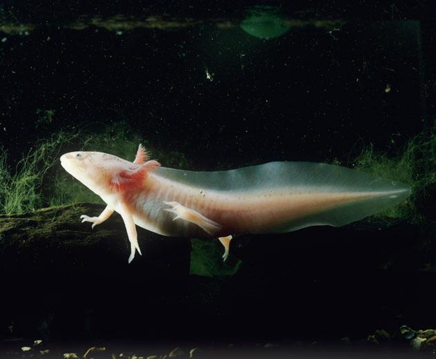 Superpower-Animals-Axolotl-10