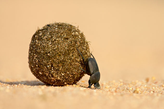 Superpower-Animals-Dung-Beetle-6-631