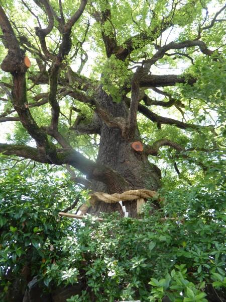 kyoto tree