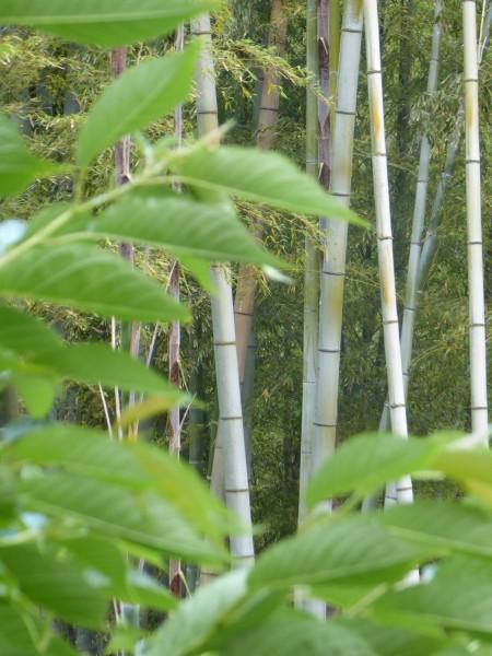 kenchoji bamboo trees 2