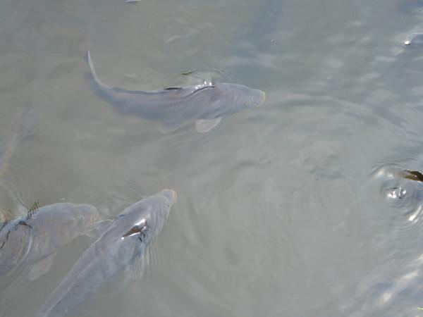 lake meji shrine fish2