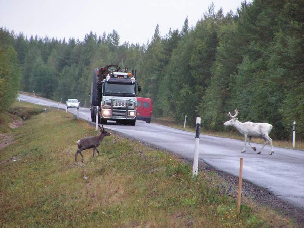 финляндия олени на дороге