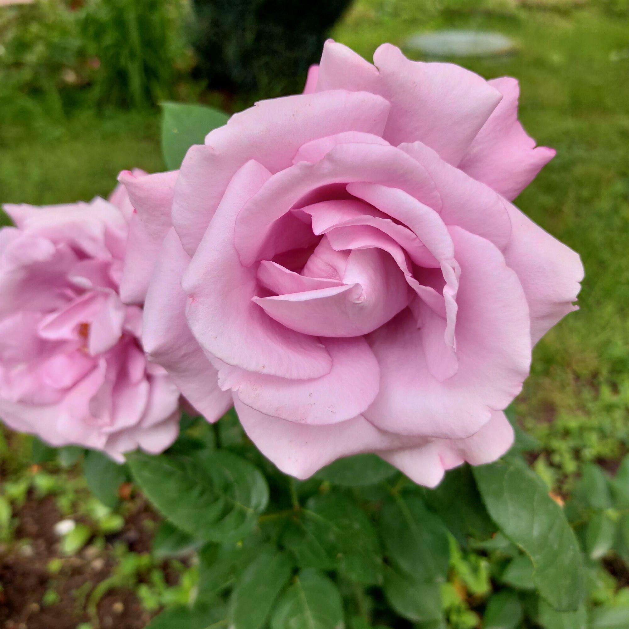 Новенькая роза осенней посадки. Огромный цветок, сильный аромат. Название соответствует: Блу Парфюм.