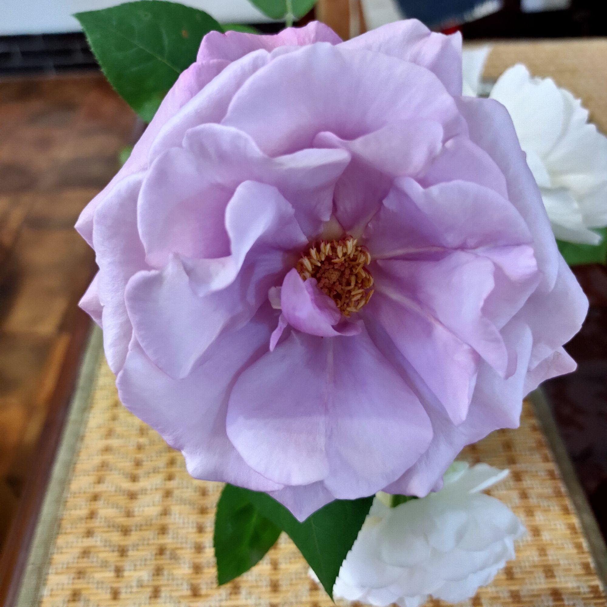 Вот так выглядит на четвертый день в срезке. Я эту розу не покупала, положили в подарок за заказ.