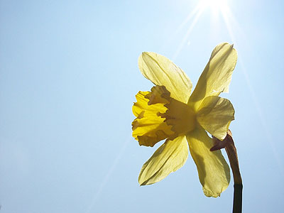 daffodil desktop wallpaper 640 X 480 | 800 X 600 | 1024 X 768