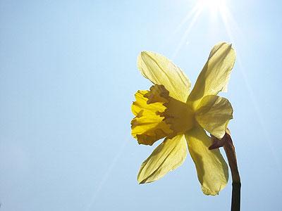daffodil desktop wallpaper
