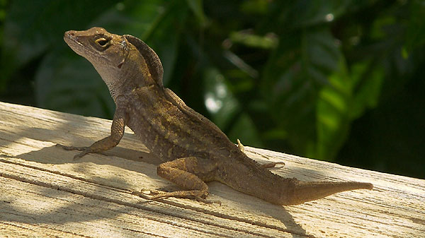 unknown lizard, identifications welcome