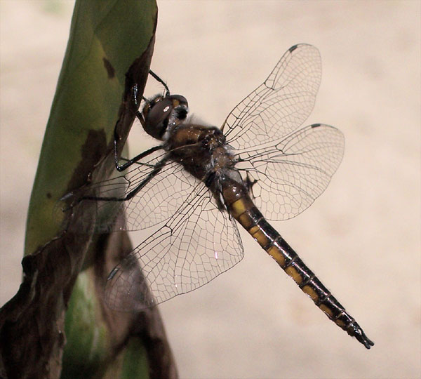 dragonfly in my garden