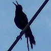 mourning dove on a wire: silhouette