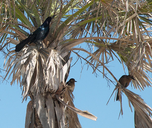 boat-tailed grackles in a plam tree