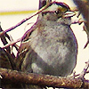 unidentified sparrow (possible american tree sparrow or chirping sparrow)