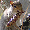 grey squirrel with a pinecone