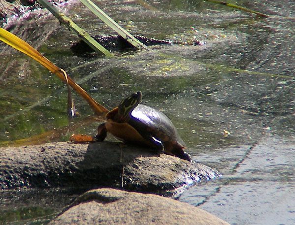 redbelly turtle at hills pond