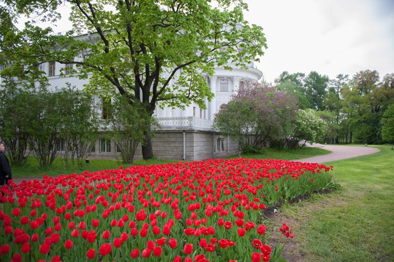 фестиваль тюльпанов в петербурге 3