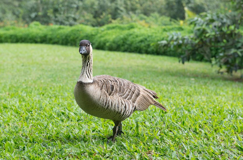 Geese Nene-1