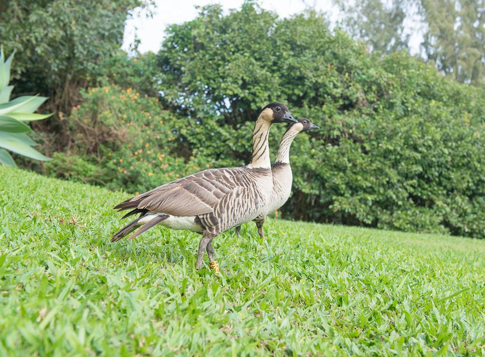Geese Nene-3