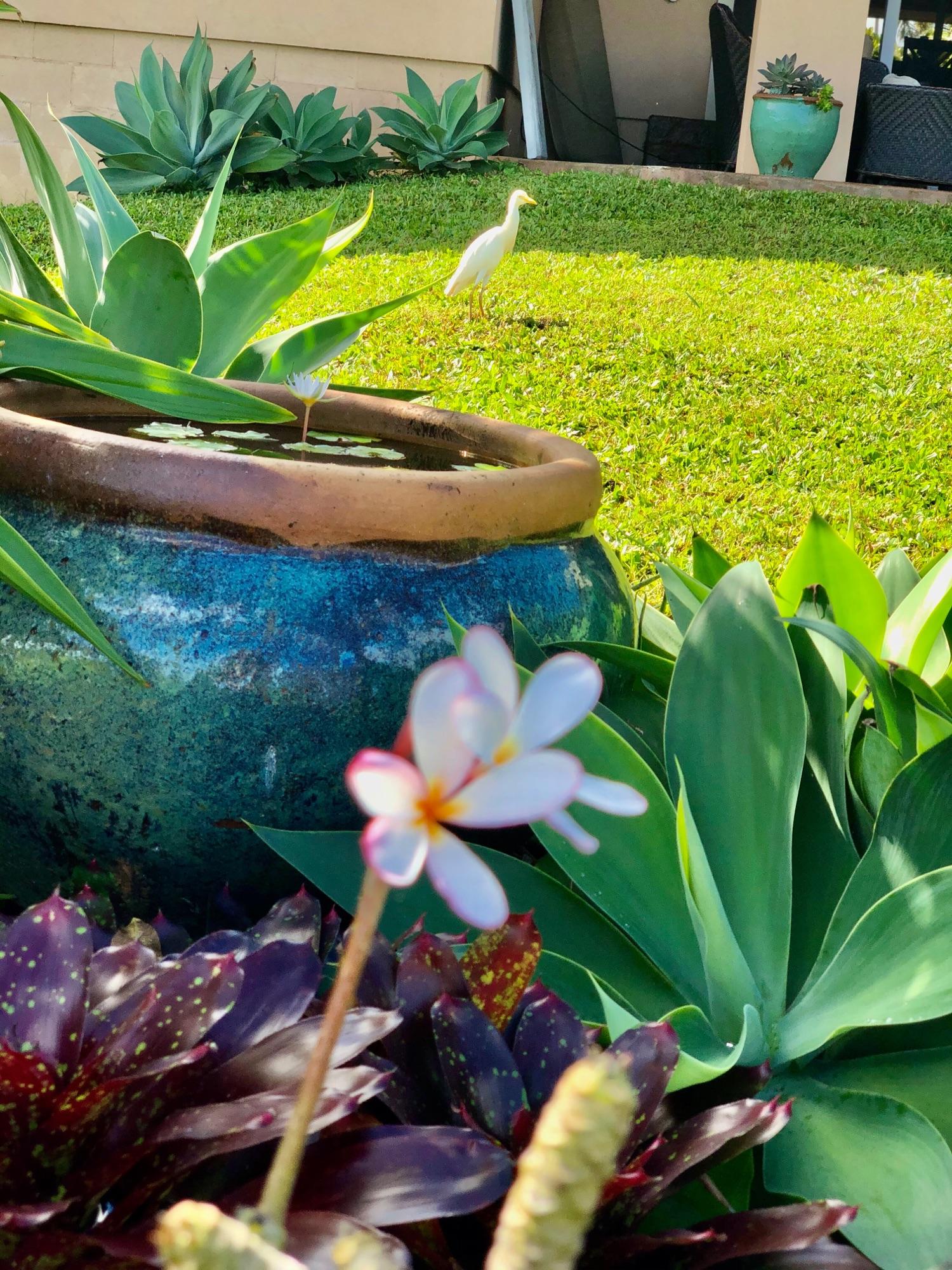 Цапелька белые приходят толпой. Тут она на фоне моей кадушки с лилией.