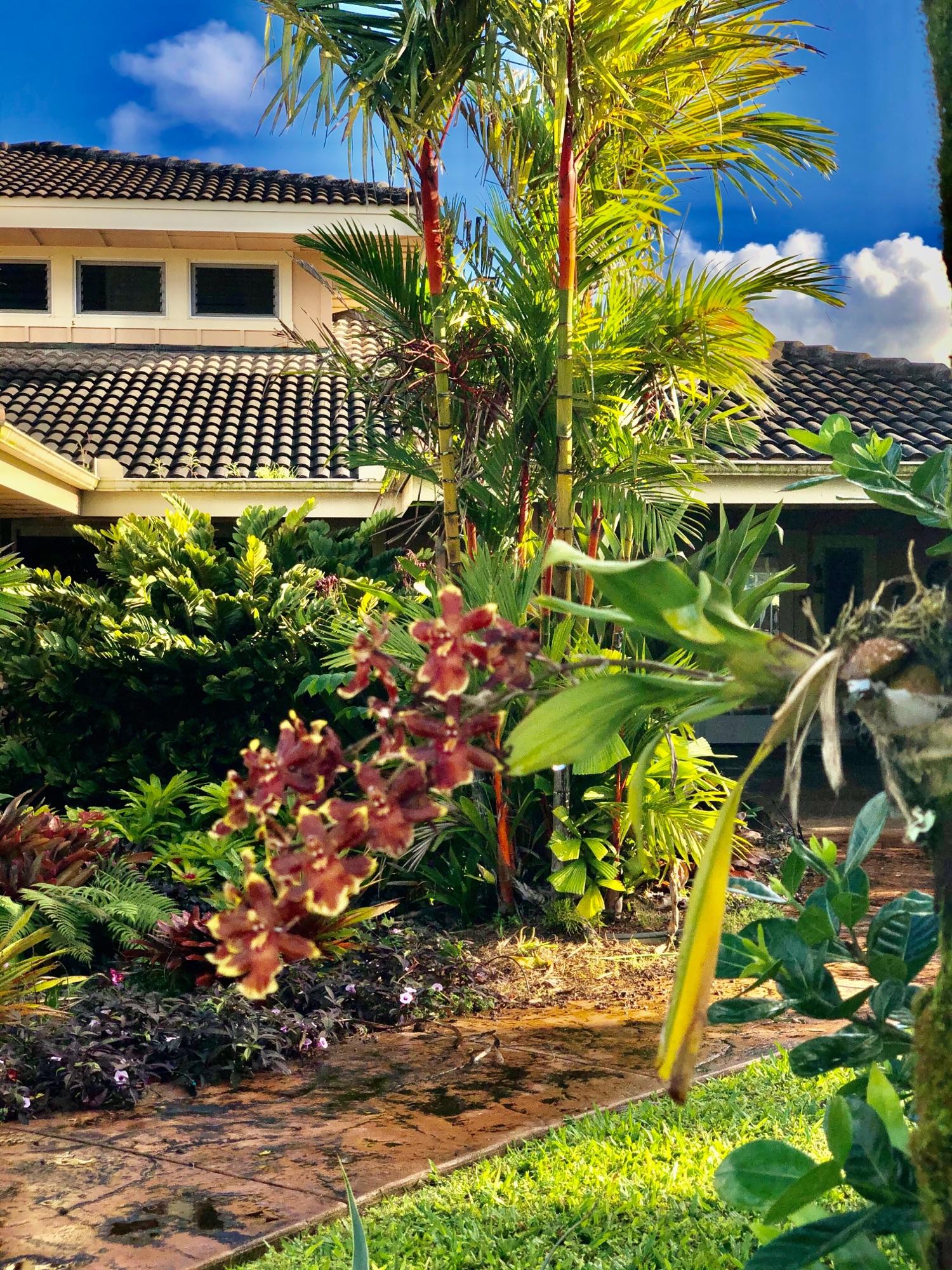 Орхидея, которую полгода тому назад я прикрутила к пальме уезжая. Не надеясь на успех.А она молодцом! И цвет какой редкий.