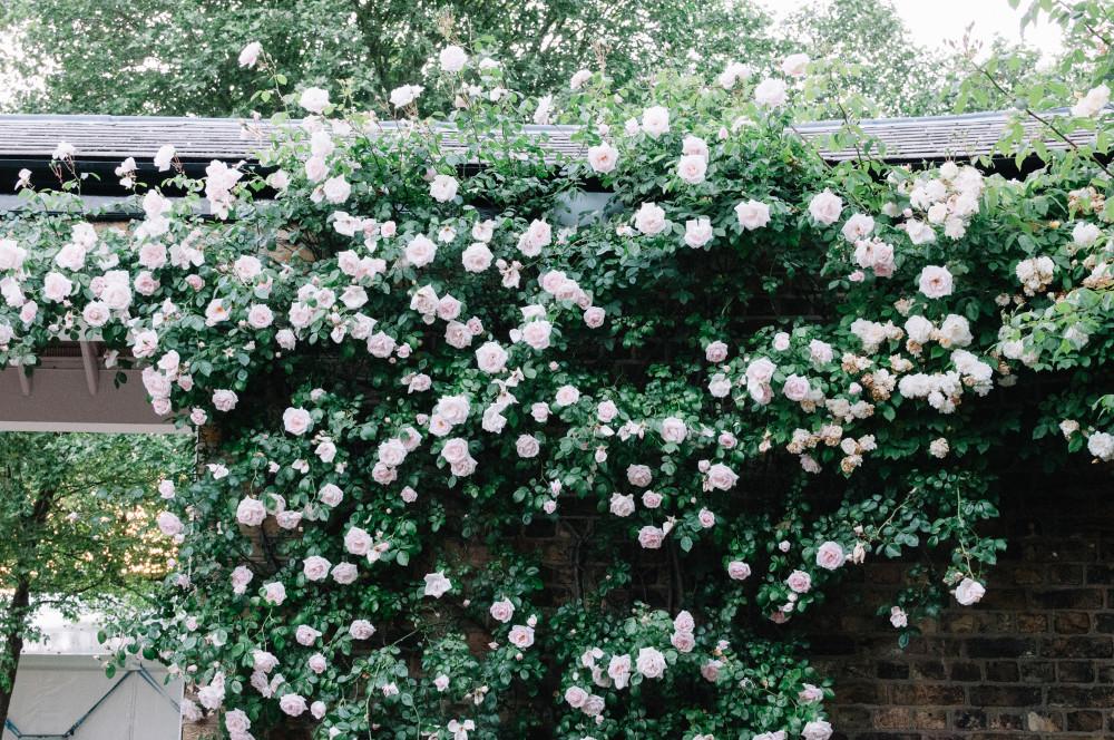 Лондон, Гринвич, розовый куст