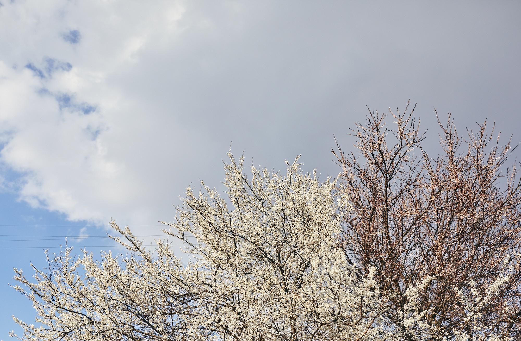 Абрикосовые деревья в Краснодаре цветут в марте