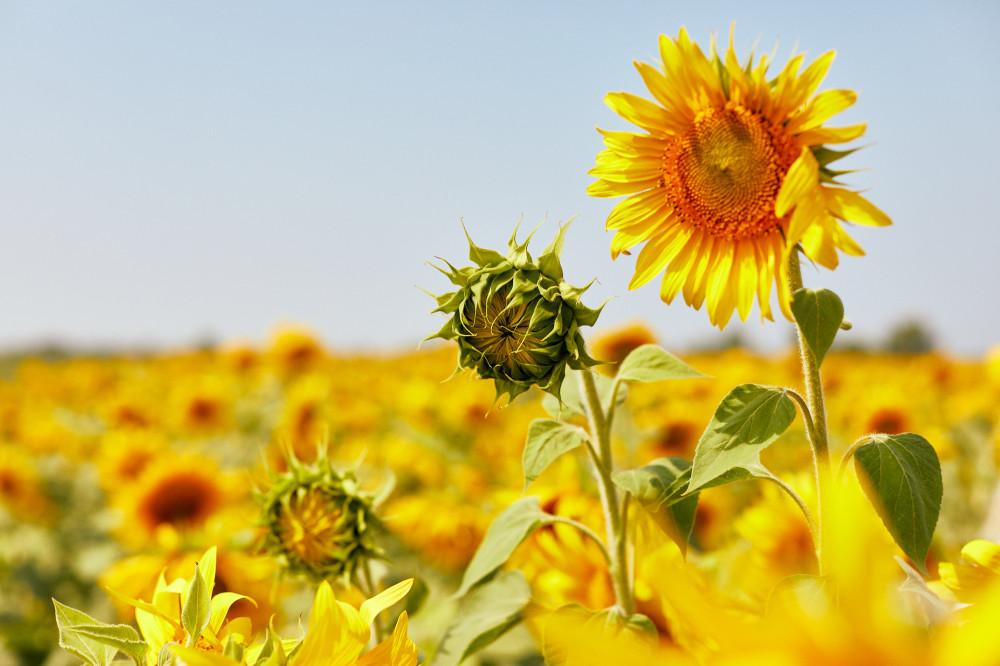 Что может быть ярче, чем поле подсолнухов? Фотография одного из летних постов прошлого лета —из Самары.