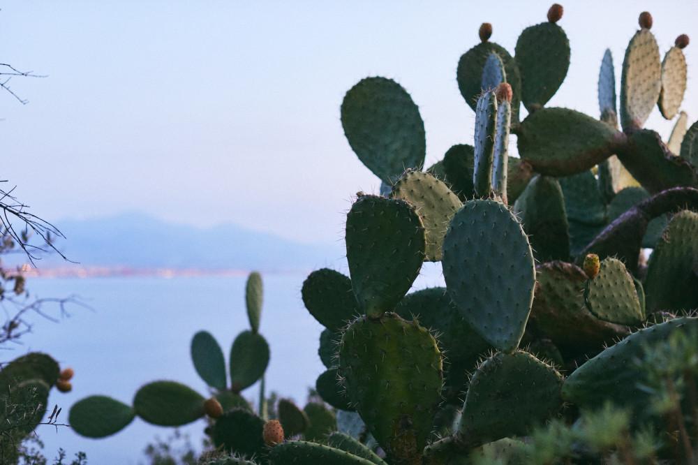 Много кактусов