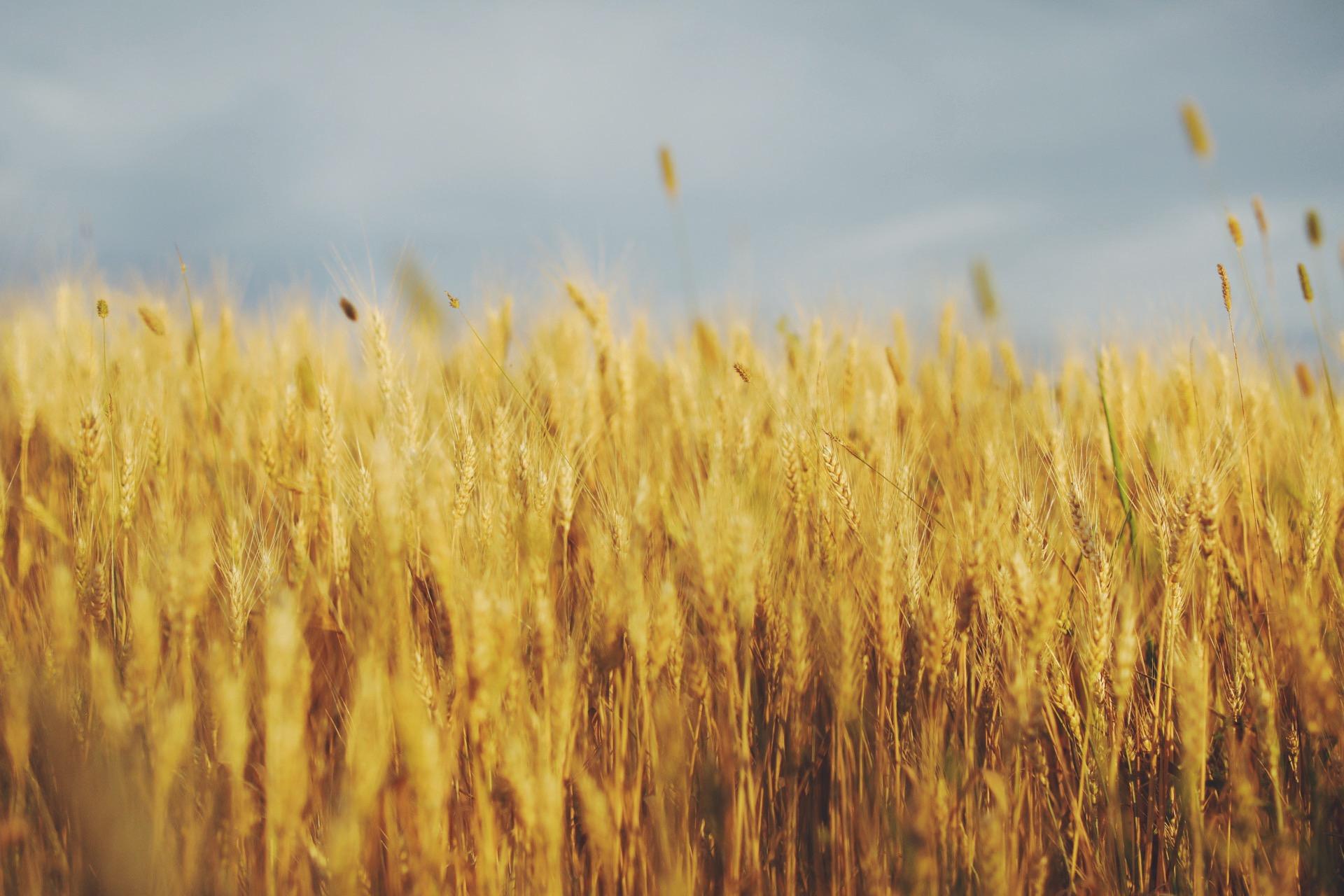 Золото полей