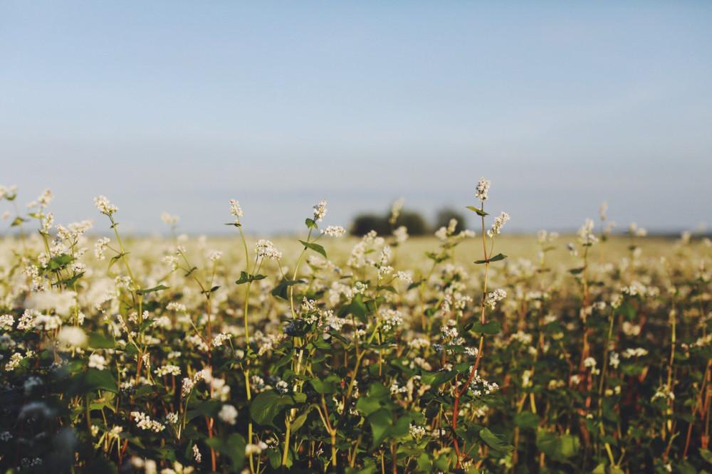 Поле гречки, гречка цветет