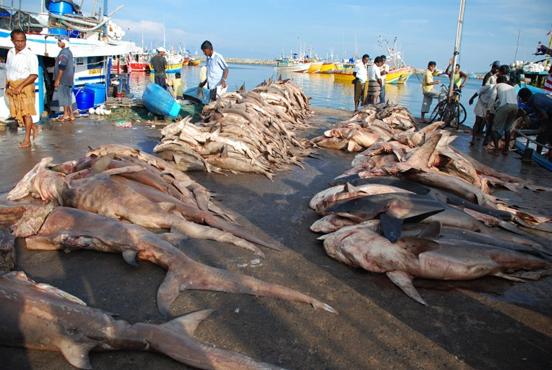 акулы в порту