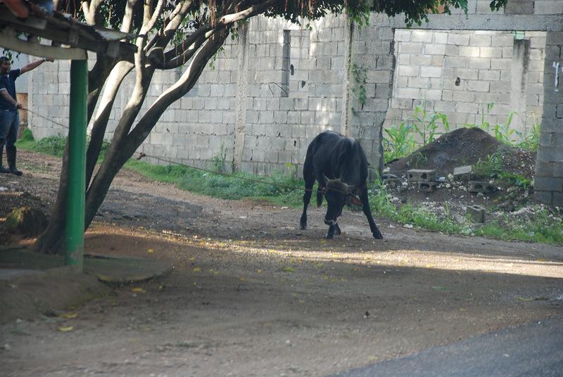 быка за рога