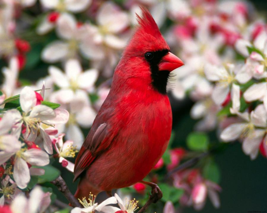 cardinal_red