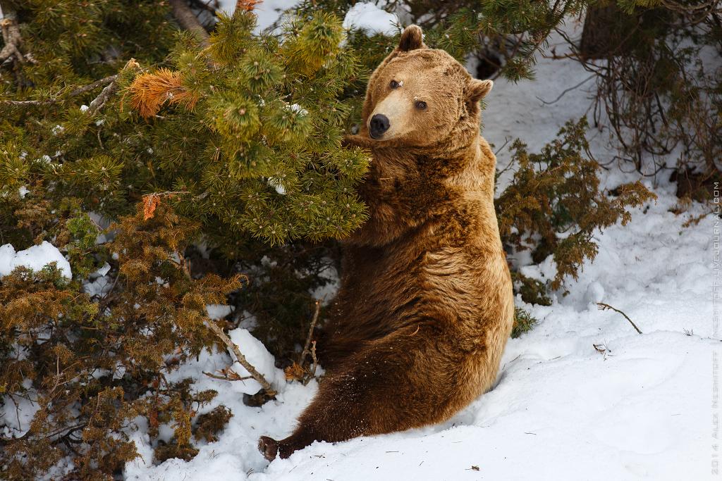 более дешевые фото бурый медведь в снегу являетесь представителем компании