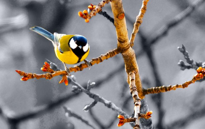 синица зимой на дереве