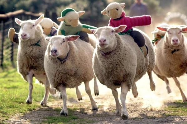 Sheep-on-sheep-speed-racing-70223