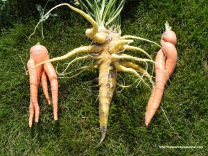 Три морковки
