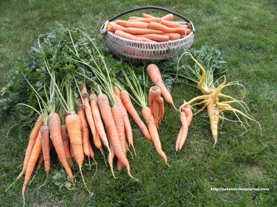Морковки много не бывает