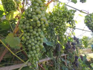 виноград 2013