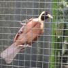Райская птица непоседа