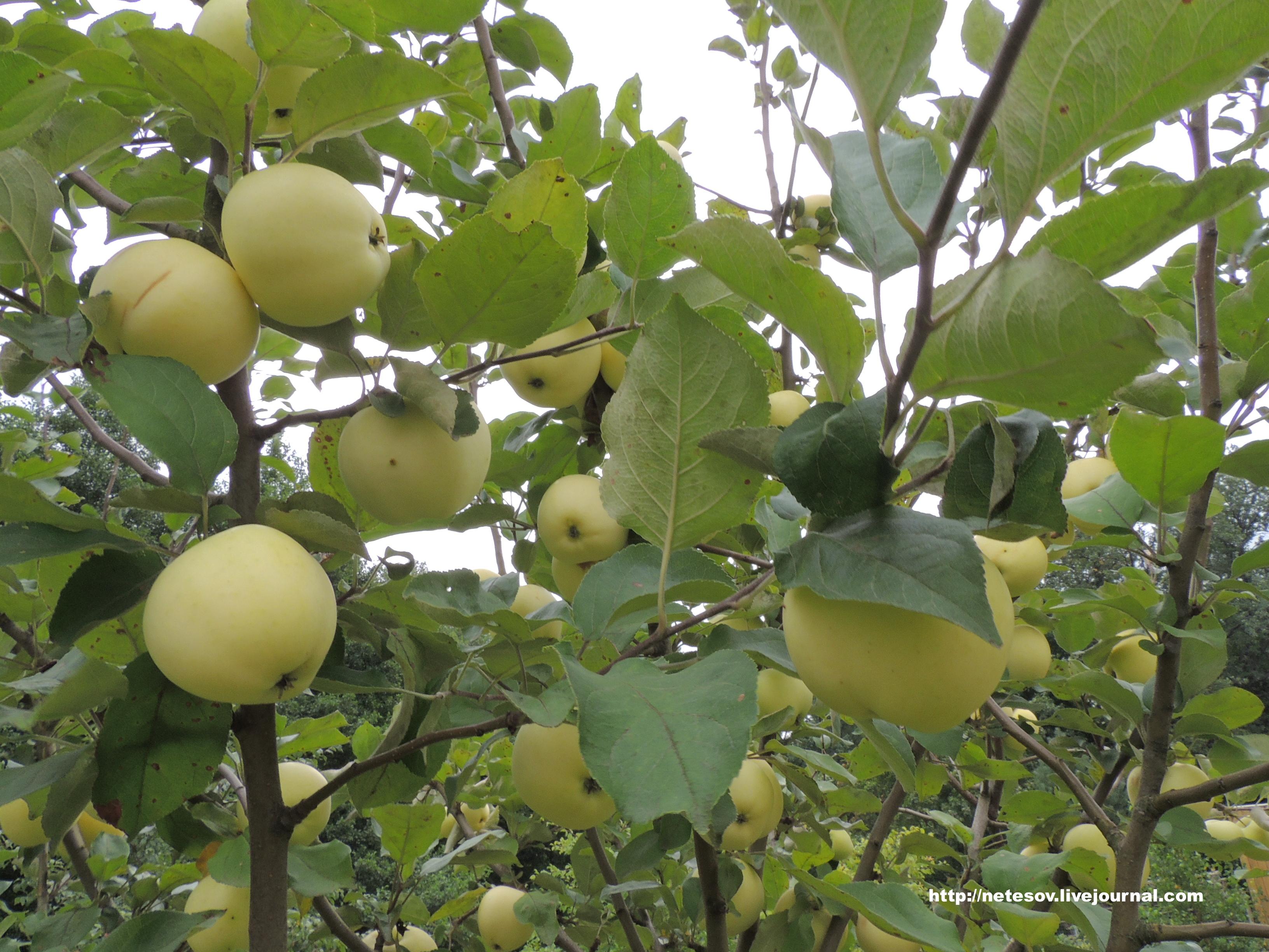 Что делать с яблок белый налив 132
