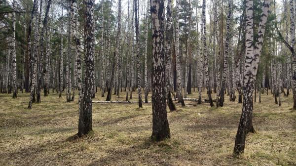 Ходил в леса за берёзовым согом, дурак не отрицаю.