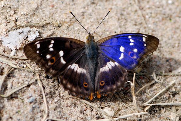 Butterflies_39_by_Dashka_bird