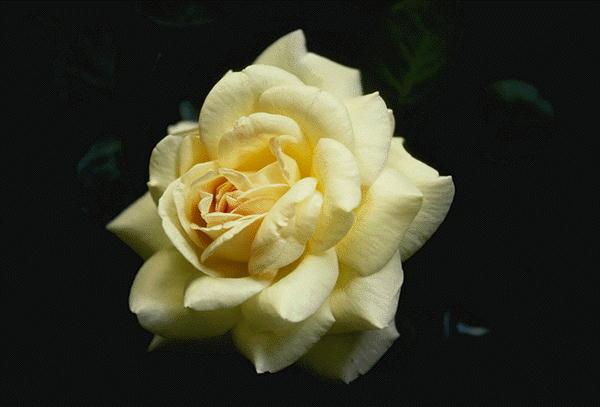 DR Цветок